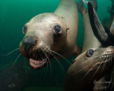 Sea Lions, Hornby 2014