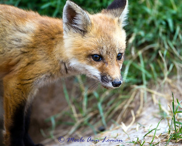 Red Fox - Runt of the litter