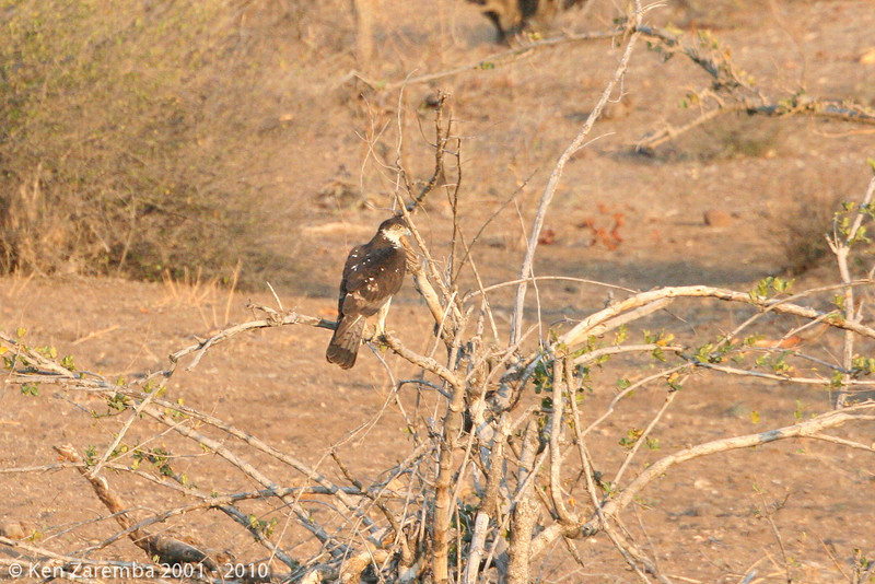 african hawk eagle (mashatu)
