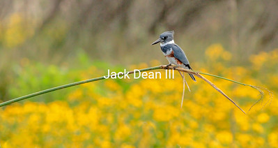 Belted Kingfisher #1