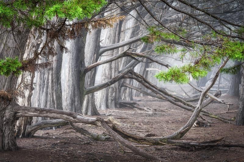 Through the Branches, Sea Ranch, CA