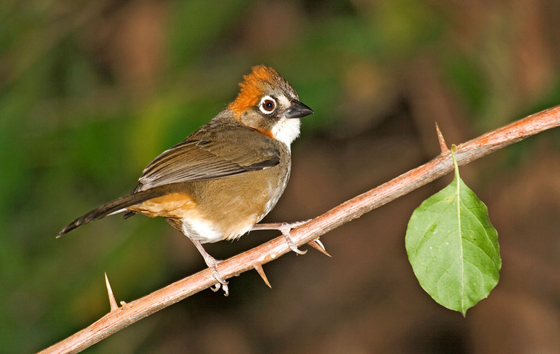 Rusty-crowned Ground Sparrow 1.jpg