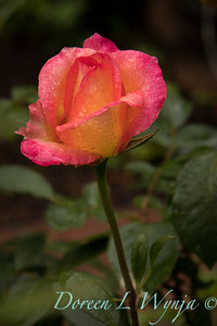 Test rose gardens