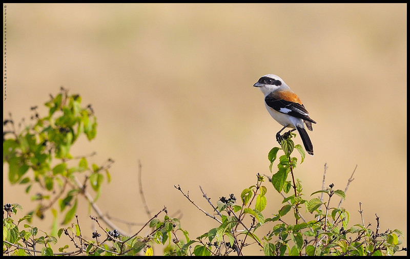 Bay backed Shrike.....