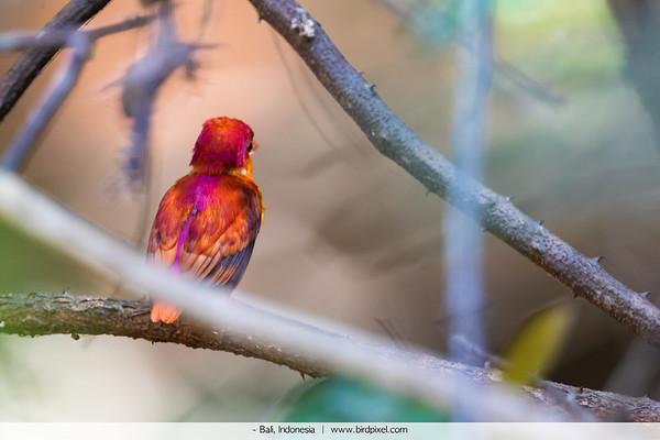 Rufous Kingfisher