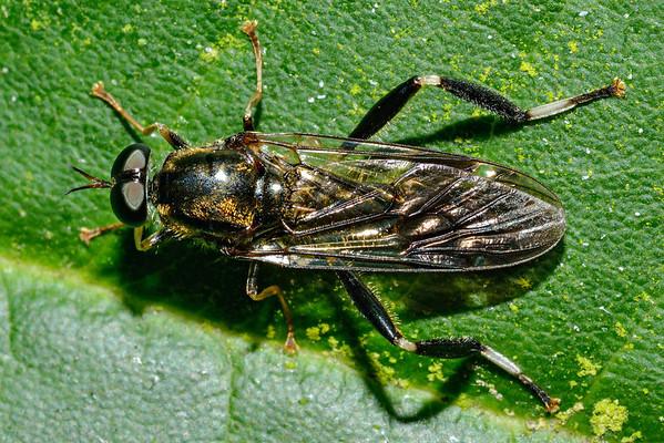 Exaireta spinigera - Garden soldier fly