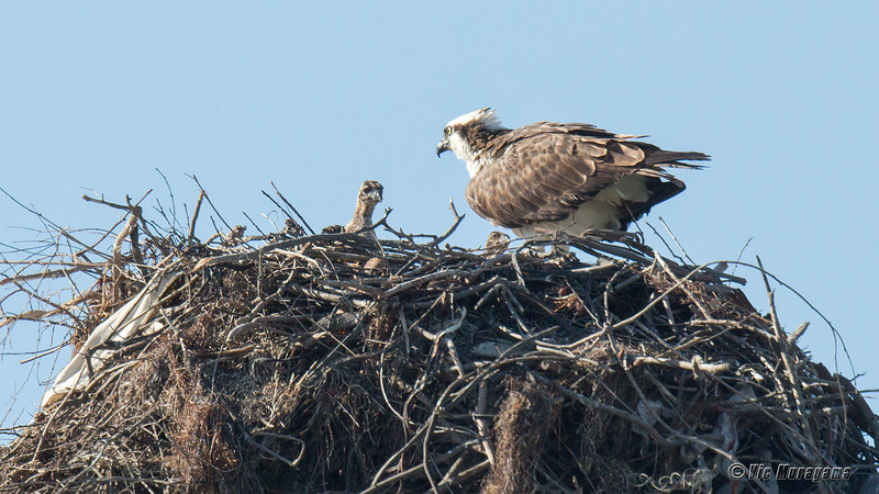 2014 OSPREY NESTS