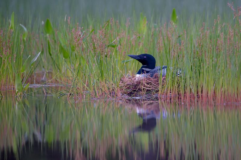 #763 Common Loon on Nest