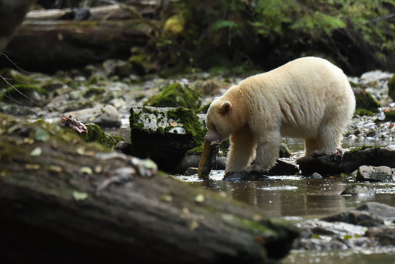 Spirit Bear on Kwa Creek