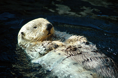 Animal Stock Photography - sea otters