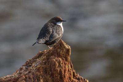 Passerines - Spurvefugle