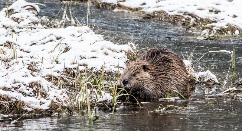 Beaver in snow Firehole River Yellowstone National Park WY DSC05144.jpg