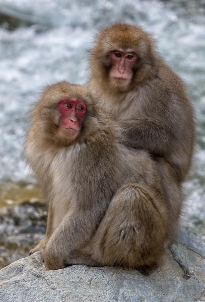 snow monkey-9.jpg