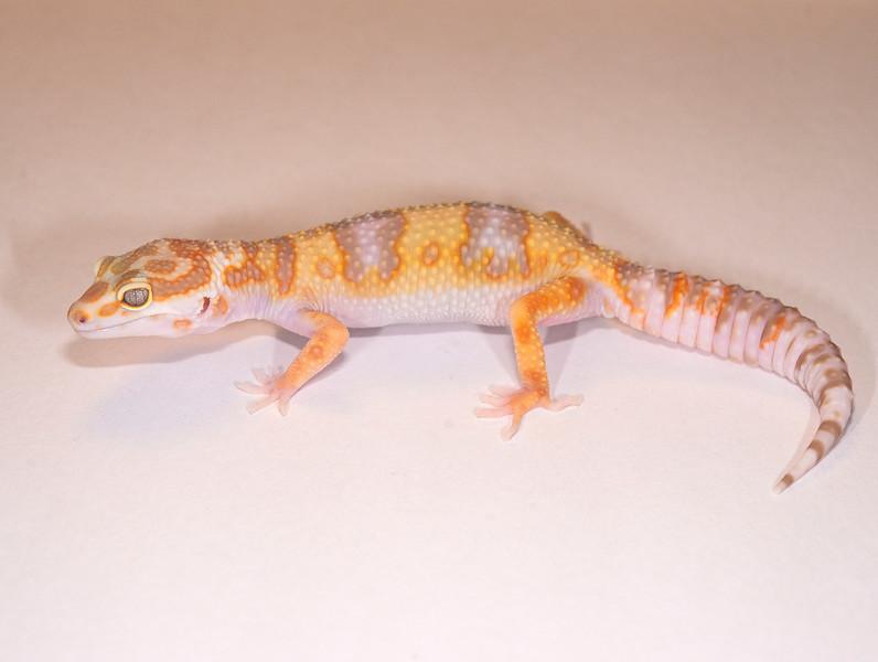 LG3815, $35, Tremper Albino, TSF, 31 grams, sold Tulsa Reptile show