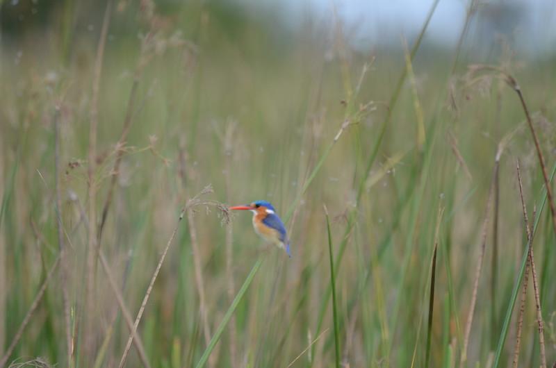 94 - Malachite Kingfisher - Xigera - Anne Davis