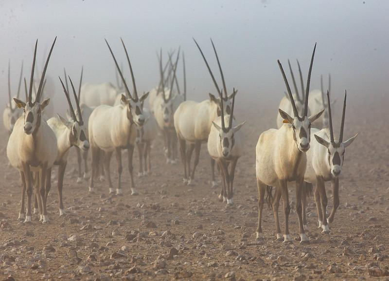 Arabian Oryx (40).jpg