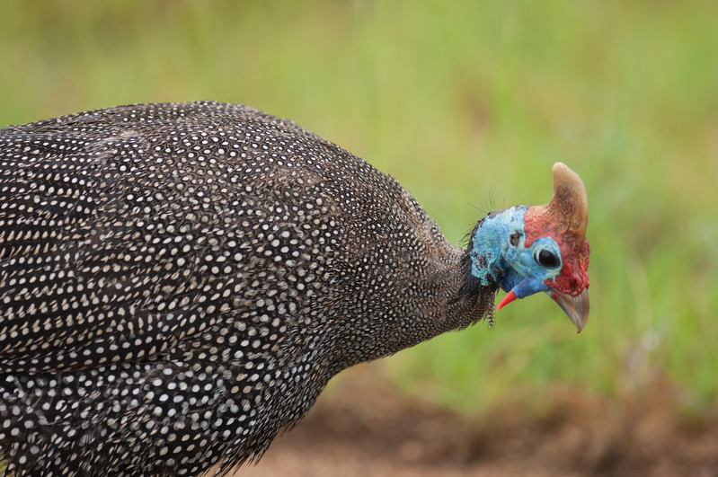 Helmeted Guineafowl, Kruger National Park
