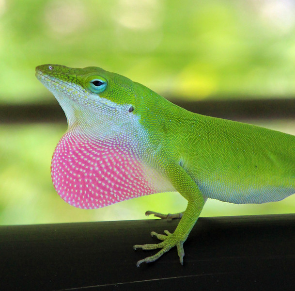 Anole with throat fan