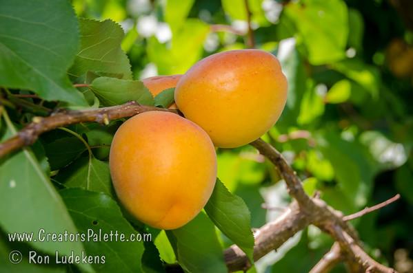 Helena Apricot - Prunus armeniaca sp.