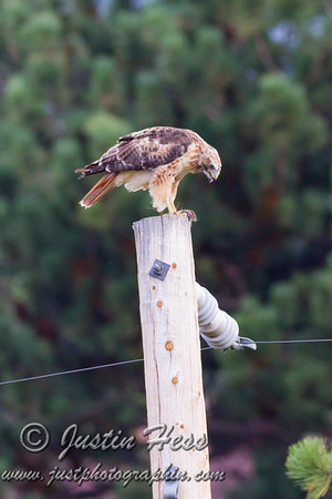 Red-Tailed Hawk Meal 08-21-2017