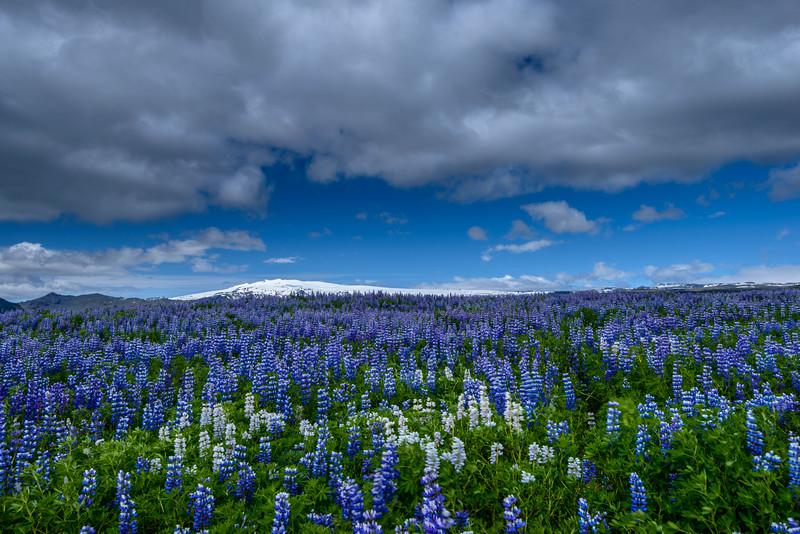ICELAND-LUPINES & VOLCANO-2-Edit.jpg