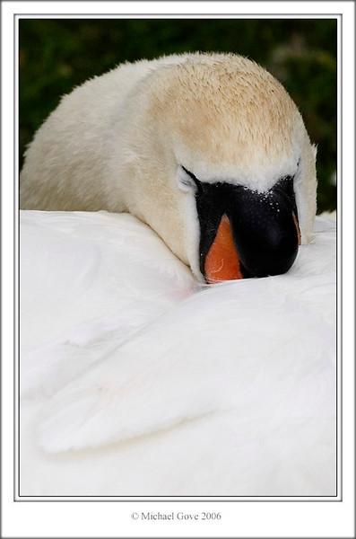 Sleepy swan (61668203).jpg