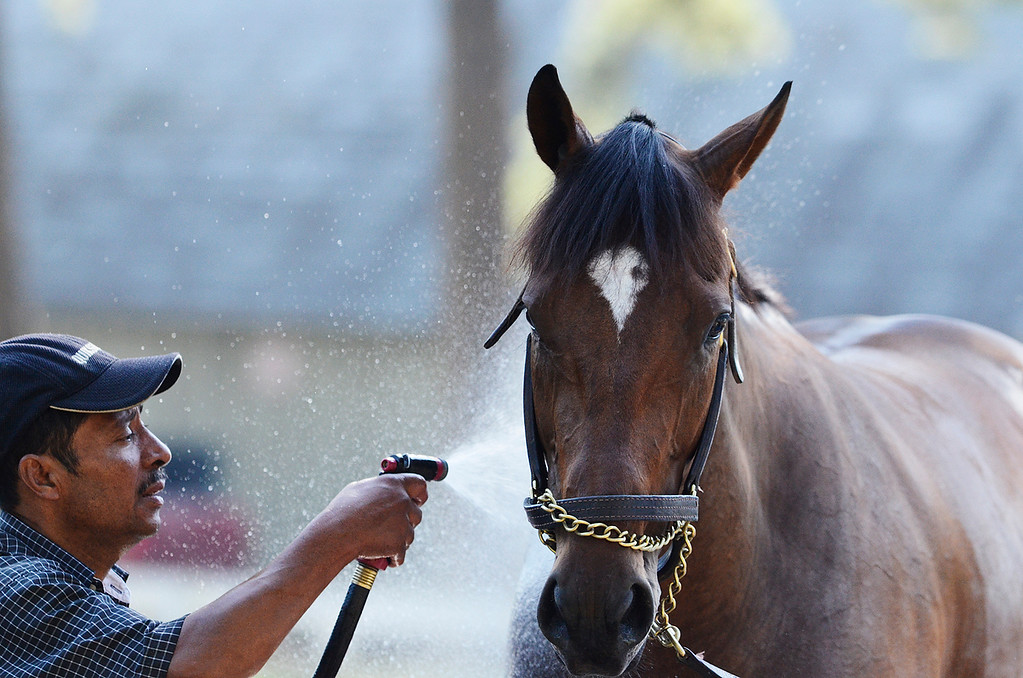 . Moreno, trained by Eric Guillot, on Saturday morning at the Oklahoma Track on the Saratoga Race Course, set to run in the Travers. Photo Erica Miller 8/17/13 Moreno5