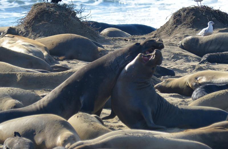 ano-nuevo-elephant-seals-2013 37.jpg