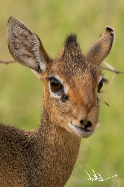 AntelopeS-11.jpg
