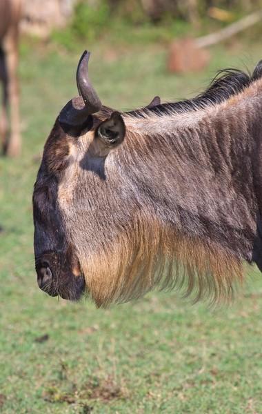 Blue Wildebeest, Naboisho Conservancy