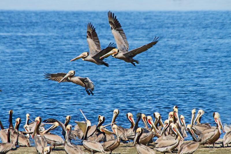 Brown Pelicans at Salton Sea