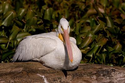 Totipalmate Birds (<em>Pelecaniformes</em>)