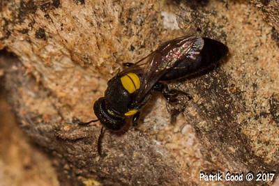 Wood-boring Masked Bee