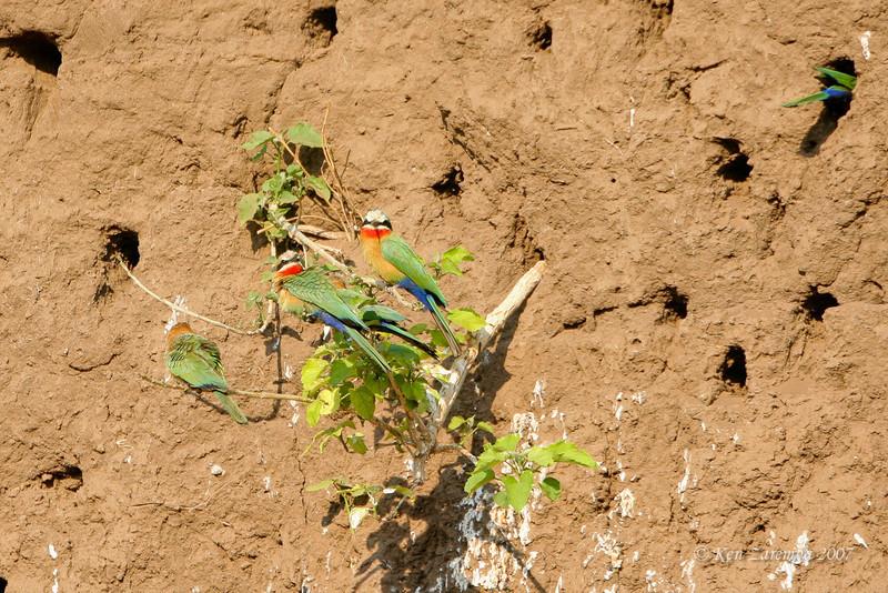 White-fronted Bee-eater, Mashatu Game Reserve, Botswana