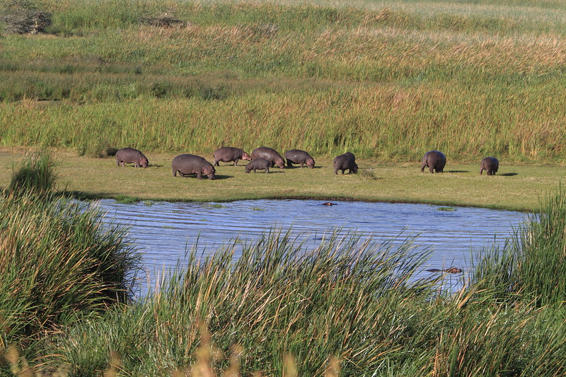 Hippos in the Crater 3.JPG