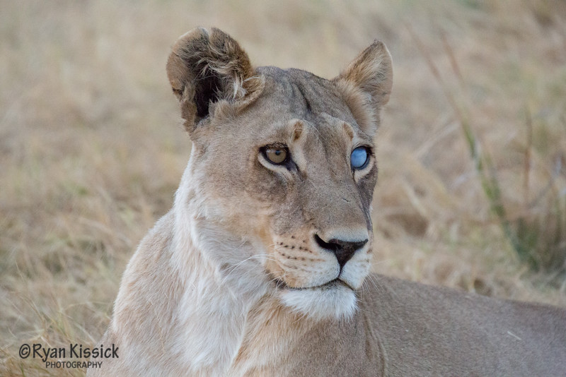 This beautiful lioness had her eye injured when she was young. However, she is apparently one of the best hunters around despite her handicap. You go, girl!