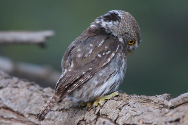 Chuncho Pygmy owl