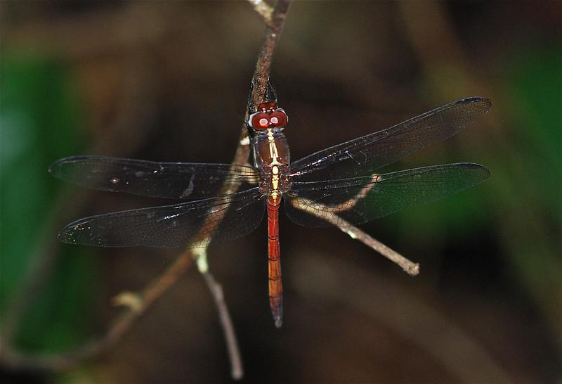 Metallica Dragonfly, Guyana, South America