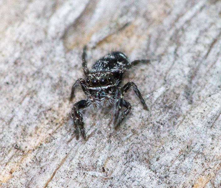 jumping spider Fringed Gentian Bog Sax-Zim Bog MN  IMG_0601.jpg