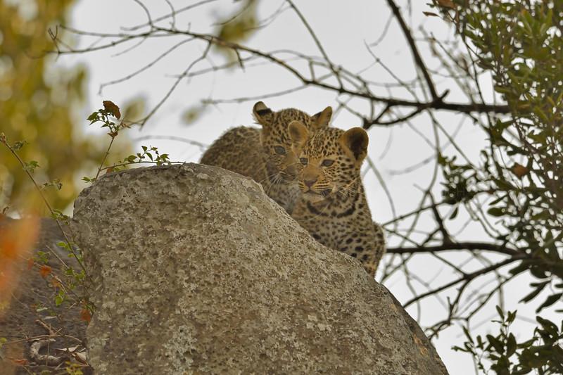 Two African Leopard (Panthera pardus pardus) cub on a rock in Masai Mara