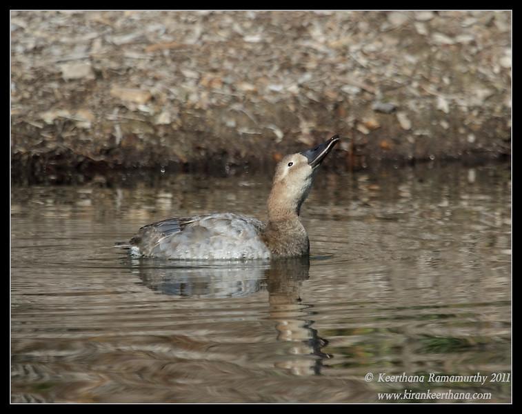 Canvasback duck, Santee Lakes, San Diego County, California, December 2011