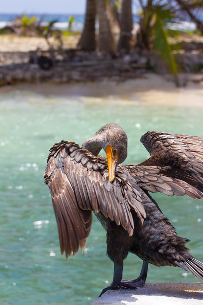 Cormorant doing cormorant things 1