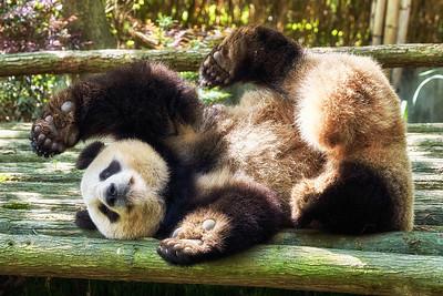 Pandas Sichuan China