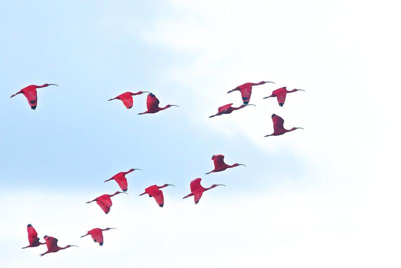 Scarlet Ibis Eudocimus ruber