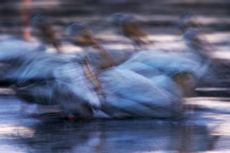 Pelican Impressions