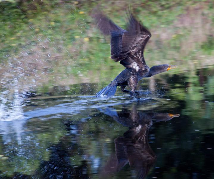 cormorant flying-2.jpg