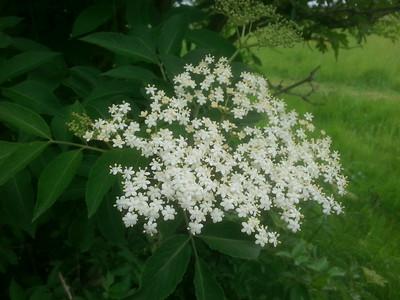 Elder, Elderberry, Elderflower (Sambucus nigra)