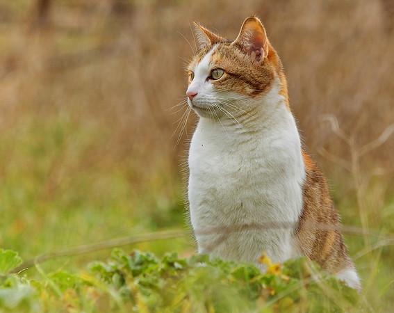 Le Chat languedocien