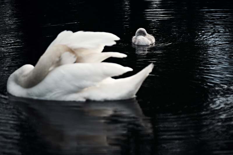 Swans_Of_Castletown026.jpg