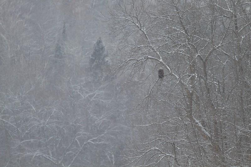 Bald Eagle Fond du Lac Bridge Duluth MN IMG_0072394.jpg